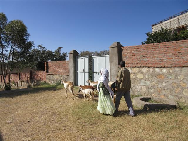 distribuzione ovini per combattere malnutrizione